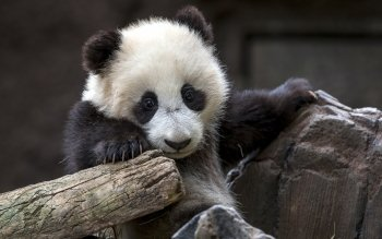 Animal - Panda Wallpapers and Backgrounds ID : 349739