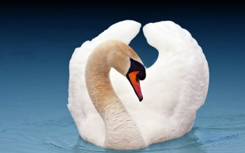 Animal - Swan Wallpapers and Backgrounds ID : 350929