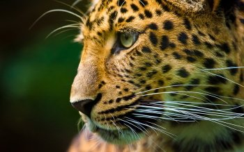 Animalia - Leopard Wallpapers and Backgrounds ID : 351327
