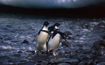Animal - Penguin Wallpapers and Backgrounds ID : 351339