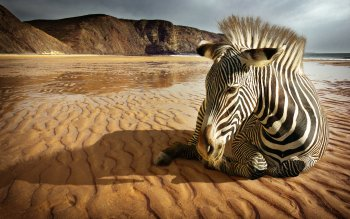Animal - Zebra Wallpapers and Backgrounds ID : 351449