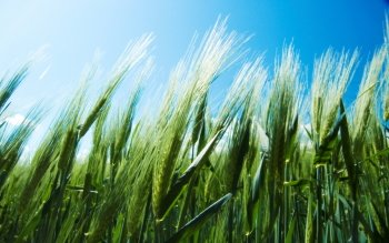 Earth - Wheat Wallpapers and Backgrounds ID : 351710