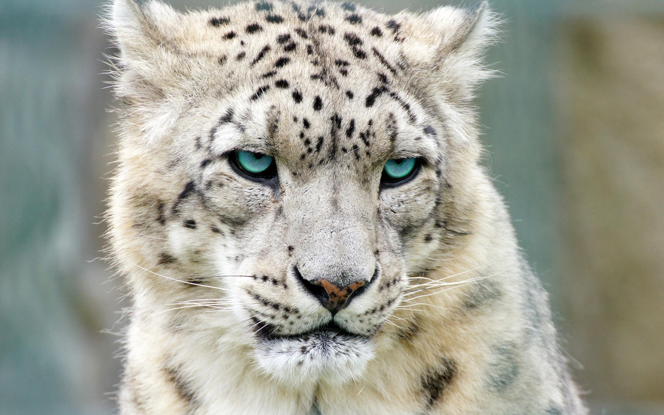Snow Leopard Hd Wallpaper Background Image 2560x1600 Id 352649