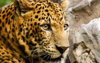 Animalia - Leopard Wallpapers and Backgrounds ID : 352103