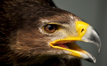 Animal - Eagle Wallpapers and Backgrounds ID : 352946