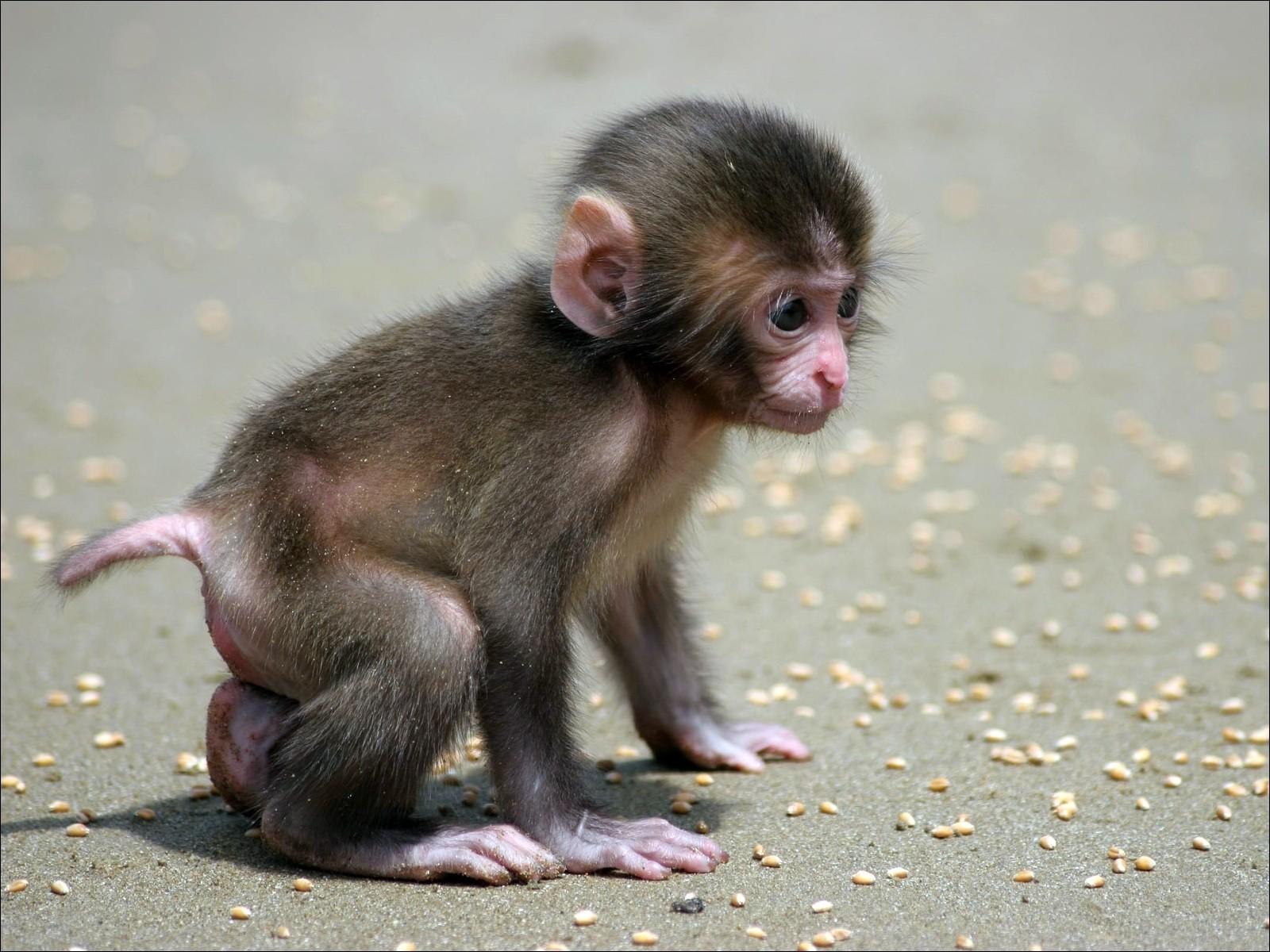 Monkey Wallpaper And Background Image 1600x1200 Id 353961 Images, Photos, Reviews
