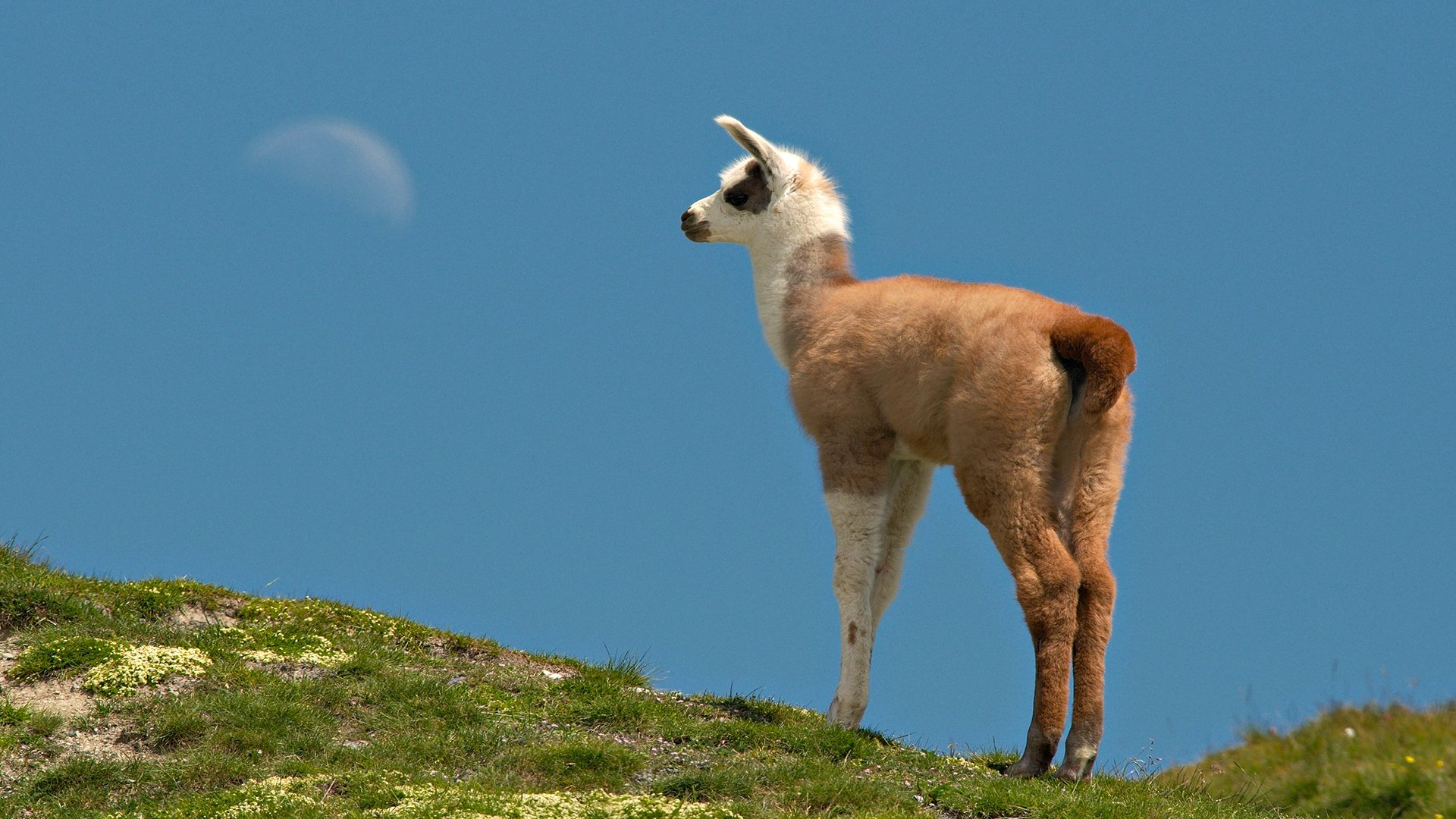 Llama Full HD Wallpaper And Background Image