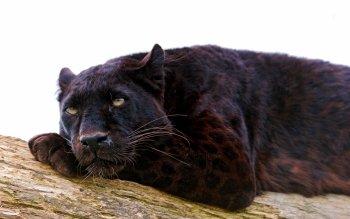 Panther hd schwarzer Artboard 1