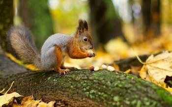 Animal - Squirrel Wallpapers and Backgrounds ID : 353488