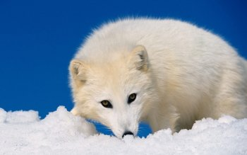 Animal - Arctic Fox Wallpapers and Backgrounds ID : 353650