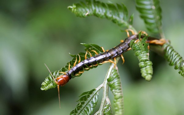 Animal Centipede Insect Millipede HD Wallpaper | Background Image