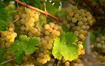 Food - Grapes Wallpapers and Backgrounds ID : 354567