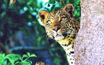 Animalia - Leopard Wallpapers and Backgrounds ID : 354990