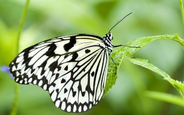 Animal Butterfly Insect Green HD Wallpaper   Background Image