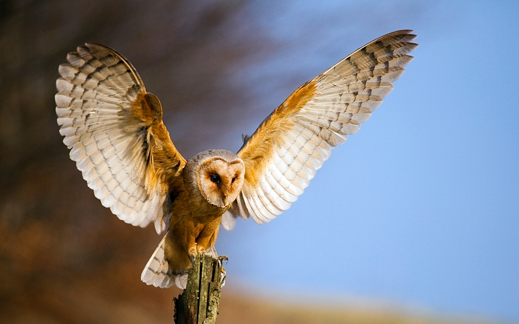 barn owl wallpaper and background image | 1680x1050 | id:355607