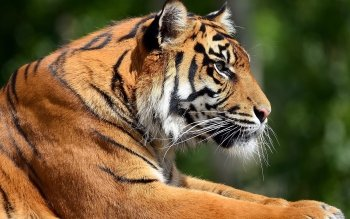 Animal - Tiger Wallpapers and Backgrounds ID : 355039