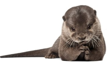 Tier - Otter Wallpapers and Backgrounds ID : 355113