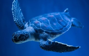 Animal - Turtle Wallpapers and Backgrounds ID : 355928