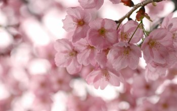 Earth - Blossom Wallpapers and Backgrounds ID : 355986