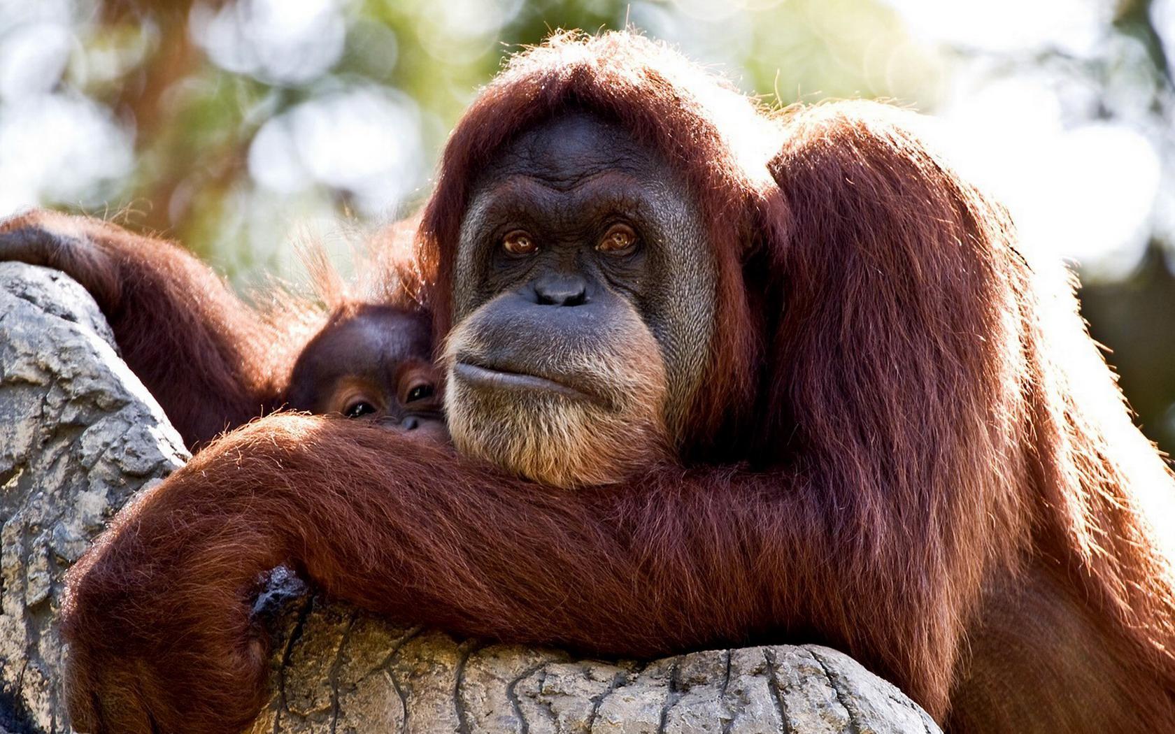 Orangutan Wallpaper And Background Image 1680x1050 Id356085