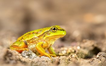 Animal - Frog Wallpapers and Backgrounds ID : 356003