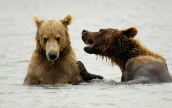 Animal - Bear Wallpapers and Backgrounds ID : 356231