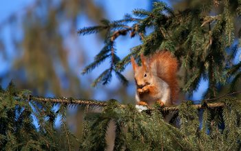 Animal - Squirrel Wallpapers and Backgrounds ID : 356638