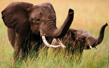 Animal - Elephant Wallpapers and Backgrounds ID : 356944