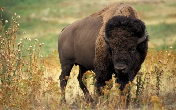 Animal - Buffalo Wallpapers and Backgrounds ID : 357189