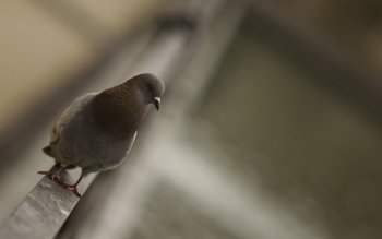 Animal - Pigeon Wallpapers and Backgrounds ID : 358514