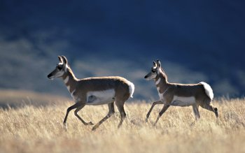 Animal - Antelope Wallpapers and Backgrounds ID : 358881