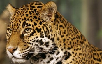 Animal - Leopard Wallpapers and Backgrounds ID : 359706