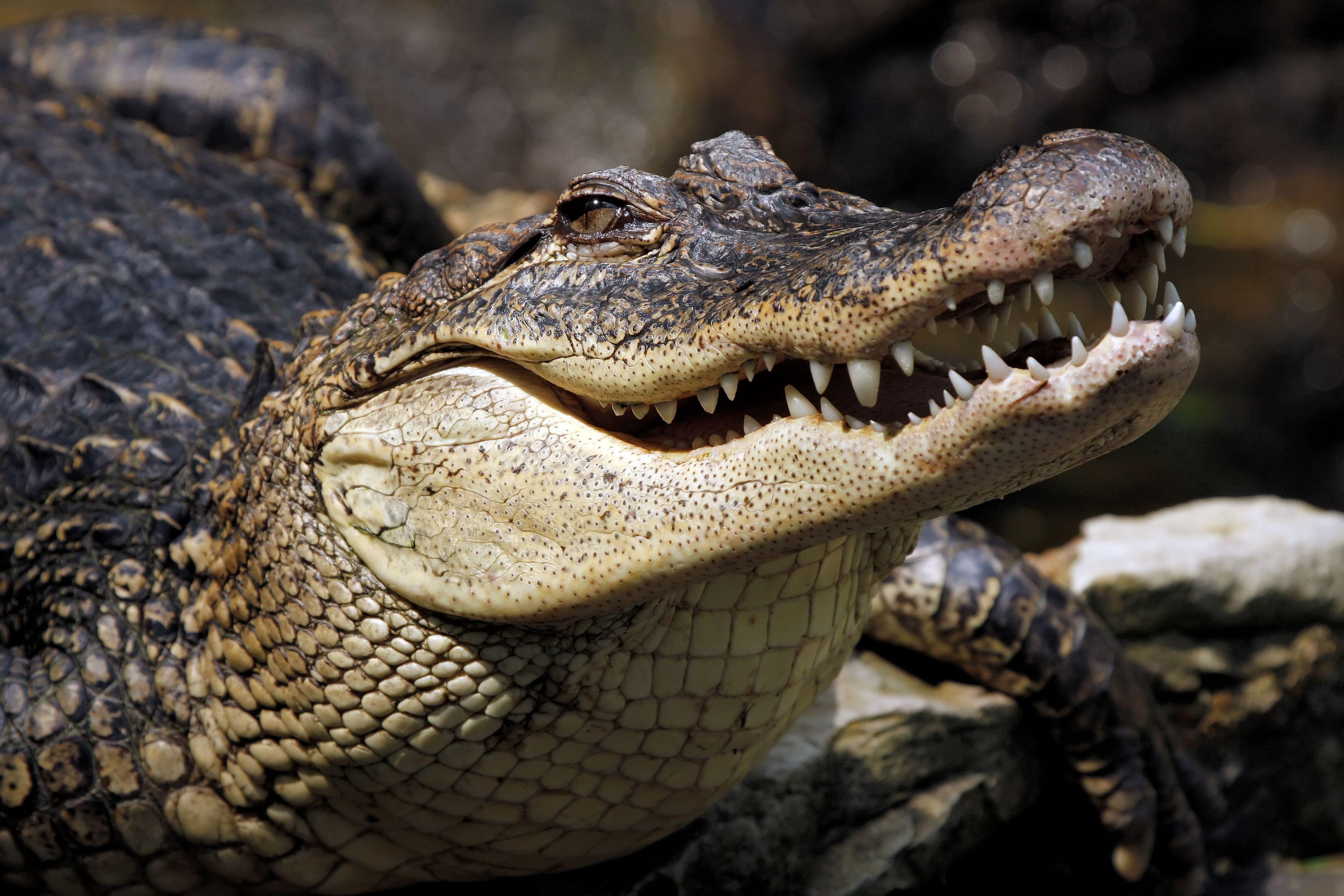 Crocodile 4k Ultra HD Wallpaper | Background Image ...