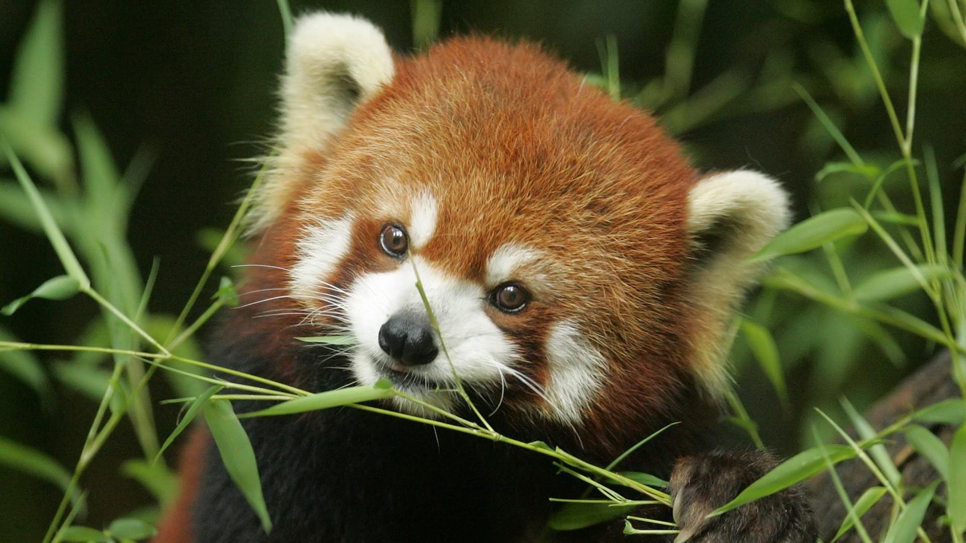 Red Panda Computer Wallpapers, Desktop Backgrounds   1920x1080   ID:360920