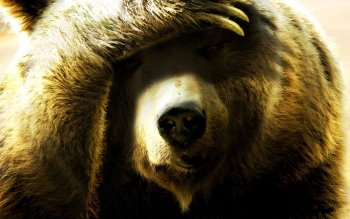Animal - Bear Wallpapers and Backgrounds ID : 360077
