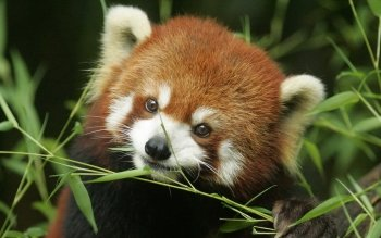 Animal - Red Panda Wallpapers and Backgrounds ID : 360920