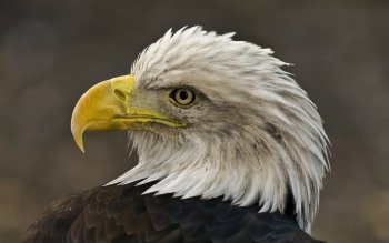 Animal - Eagle Wallpapers and Backgrounds ID : 361505