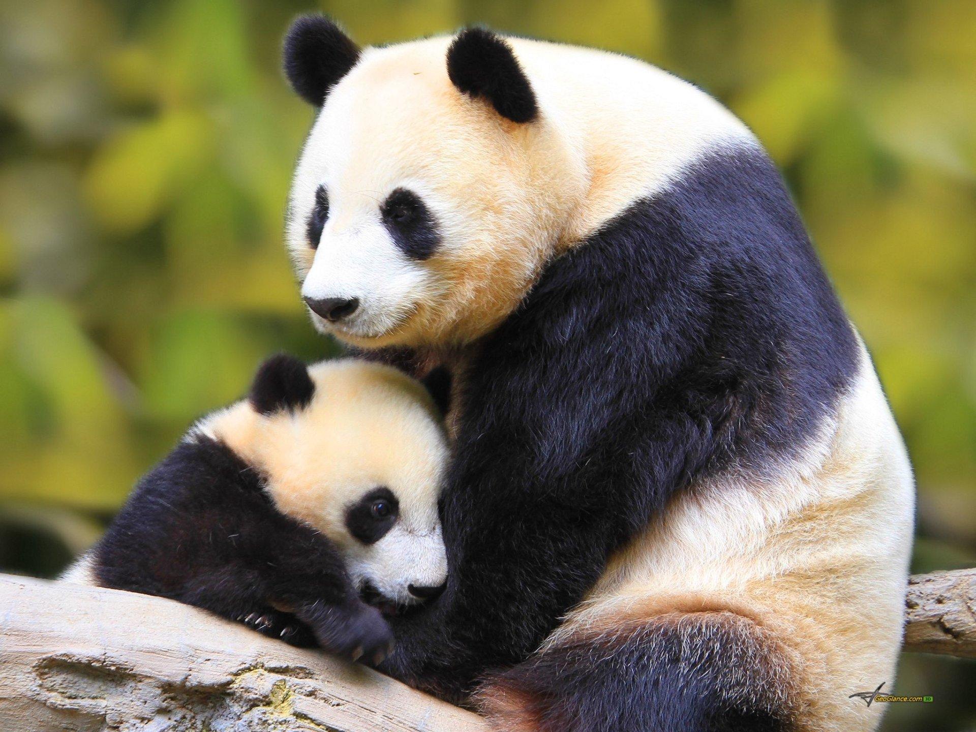 Panda Full HD Fond d'écran and Arrière-Plan | 2048x1536 | ID:363044