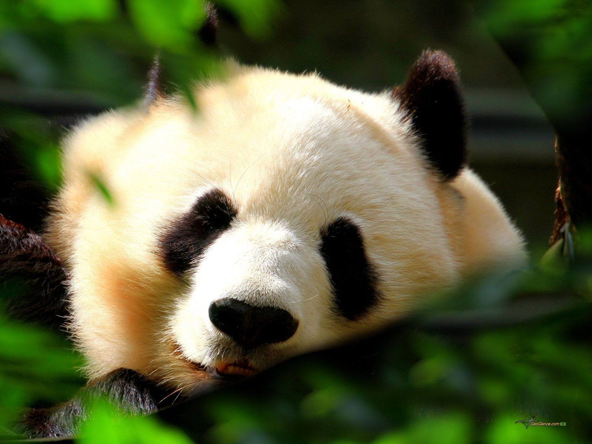 Panda Fond d'écran HD | Arrière-Plan | 2048x1536 | ID:363133 - Wallpaper Abyss