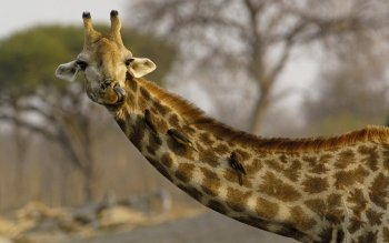 Animal - Giraffe Wallpapers and Backgrounds ID : 363222