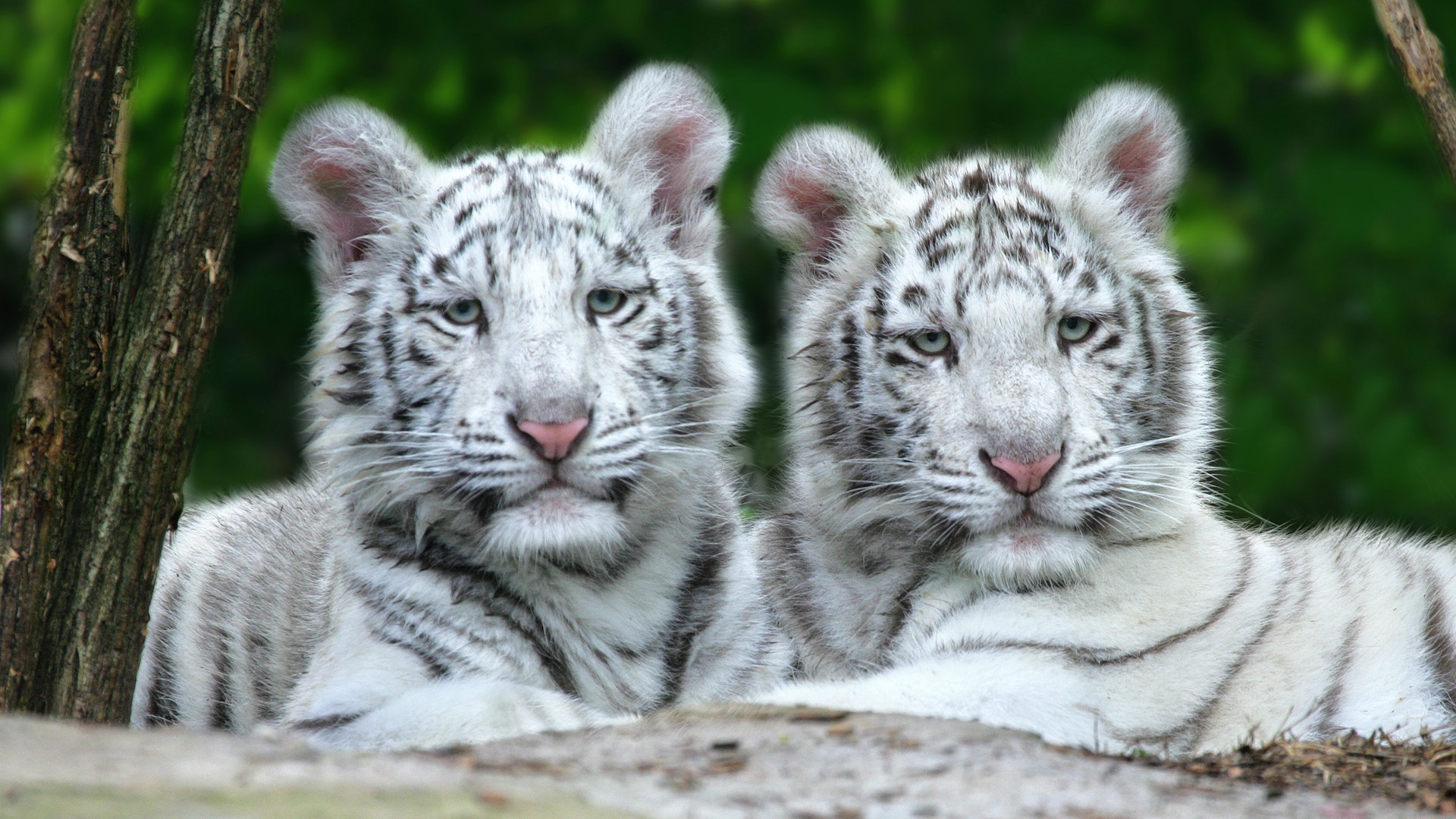 white tiger hd wallpaper | background image | 1920x1080 | id:364845