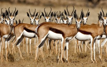 Animal - Gazelle Wallpapers and Backgrounds ID : 364765