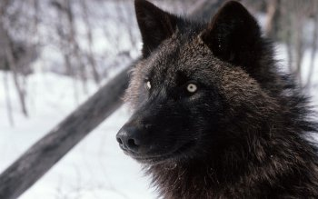 Animal - Wolf Wallpapers and Backgrounds ID : 364912