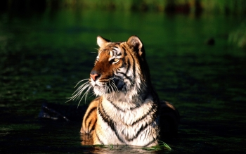 Animal - Tiger Wallpapers and Backgrounds ID : 364975