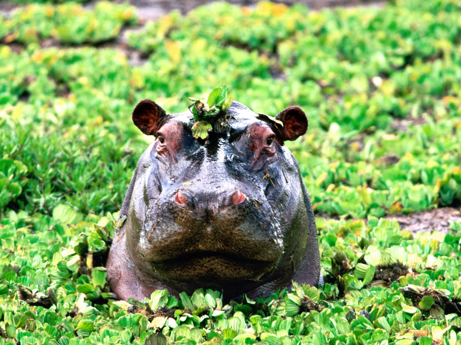 animal hippo wallpaper 1600x1200 - photo #10