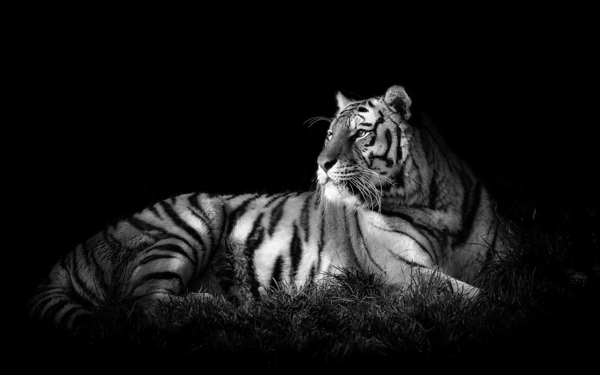 Nature Lion Big Cats Fury Angry Portrait Monochrome: White Tiger Full HD Wallpaper And Background Image