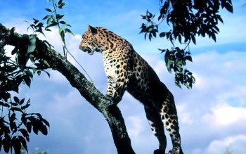 Animal - Leopard Wallpapers and Backgrounds ID : 365019