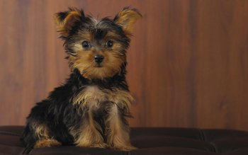 Animal - Puppy Wallpapers and Backgrounds ID : 365099