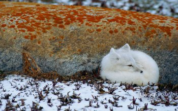 Animal - Arctic Fox Wallpapers and Backgrounds ID : 366205