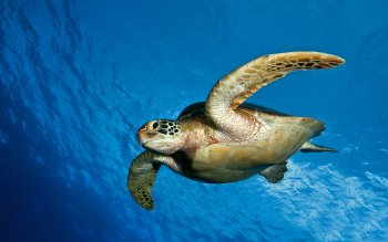 Animal - Turtle Wallpapers and Backgrounds ID : 366748